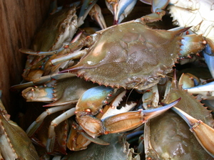 Blue_point_crabs