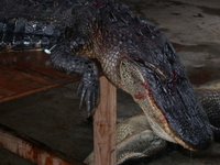 Gator_on_table