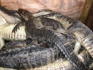 Tweleve_gators